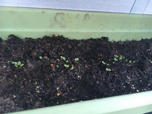 photo of emerging seedlings